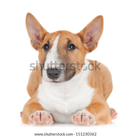 adorable miniature bull terrier puppy lying down - stock photo