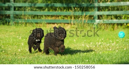 Adorable miniature poodle, and cute toy poodle puppy having a great time in the yard in the Spring after a very long winter.  - stock photo