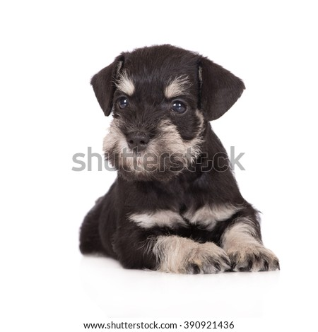 adorable miniature schnauzer puppy