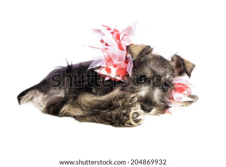 Adorable Miniature Schnauzer puppy lying down wearing red and white heart necklace isolated on white background - stock photo