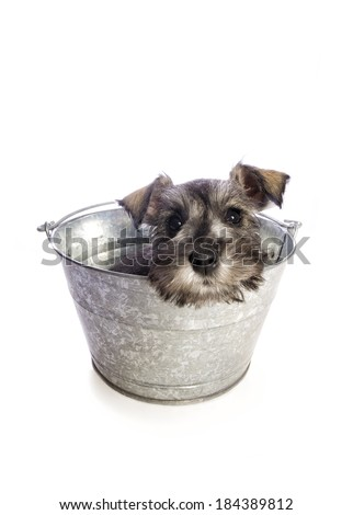 Adorable Miniature Schnauzer puppy waiting for bath in wash tub isolated on white background - stock photo