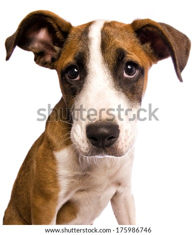 Adorable mixed breed puppy with sad big eyes head shot isolated on white background