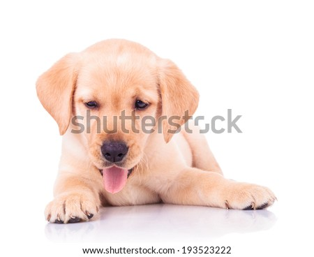 adorable panting labrador retriever puppy dog lying down on white background - stock photo