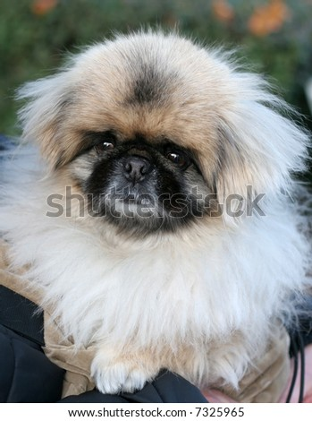 adorable pekingese dog
