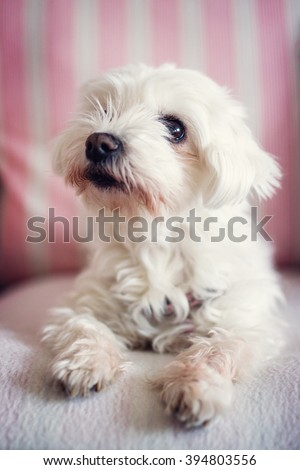 Adorable pet - small white dog