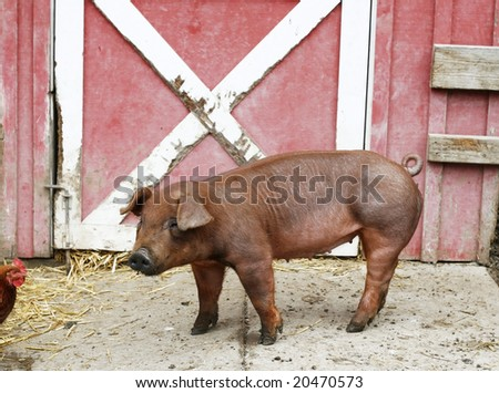 adorable piglet - stock photo