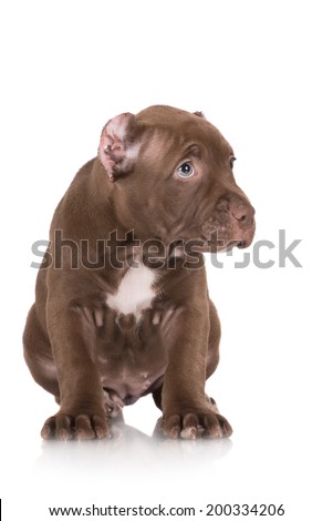 adorable pit bull puppy looking guilty