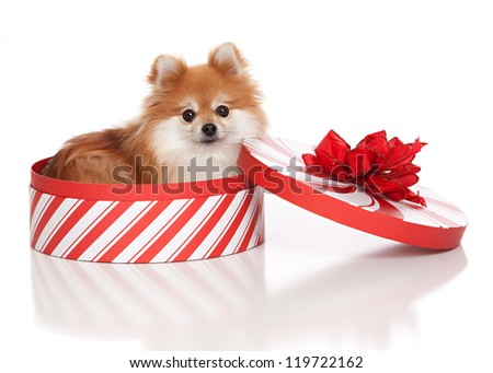 Adorable pomeranian in a Christmas box with a red bow.  Isolated on white. - stock photo