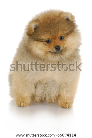 adorable pomeranian puppy sitting with reflection on white background