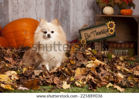 Adorable Pomeranian sitting in a pile of leaves with pumpkins and other fall decor in the background. - stock photo