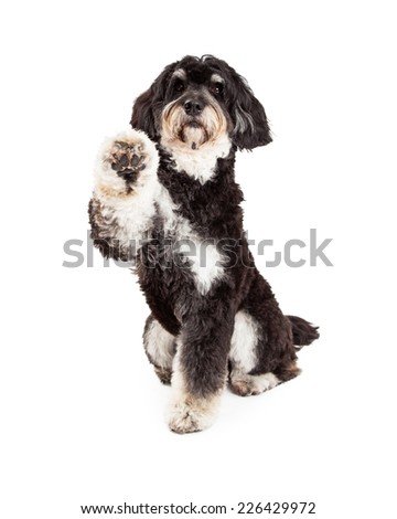 Adorable Poodle Mix Breed Dog extending paw for a shake.   - stock photo
