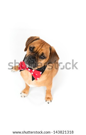 Great Collar Bow Adorable Dog - stock-photo-adorable-puggle-dog-wearing-red-bow-tie-and-black-shirt-collar-on-white-background-143821318  2018_605782  .jpg