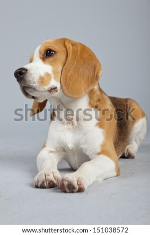 Adorable puppy beagle dog isolated against grey background. Studio portrait.