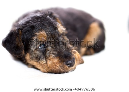 Adorable puppy lying close-up - stock photo
