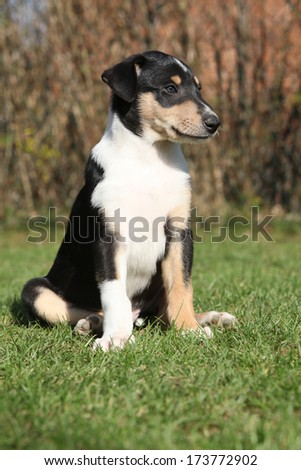 Adorable puppy of Collie Smooth in nice garden - stock photo