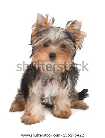 Adorable puppy of the Yorkshire Terrier isolated on white - stock photo