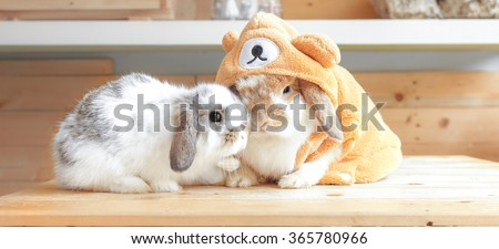 Adorable Rabbits cuddling each other on wooden tables dressed up as Teddy Bear, Holland Lop Pure Breed, Selective Focus, Love and Valentine's concept - stock photo