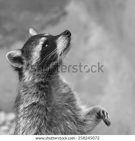 Adorable raccoon, standing right and looking up. Begging look of excellent washing bear. Picturesque wild beauty of cute and cuddly beast. Amazing animal side face portrait in black and white image.  - stock photo