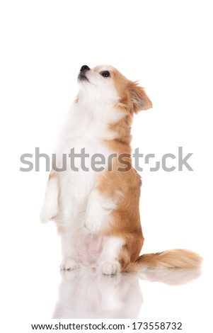 adorable red and white chihuahua dog - stock photo
