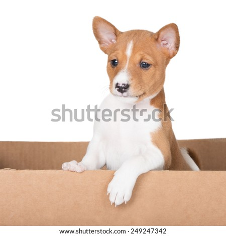 adorable red basenji puppy