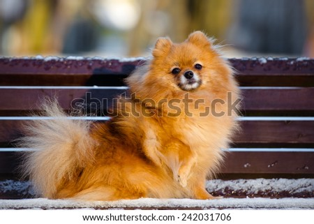 adorable red pomeranian spitz dog on a bench - stock photo