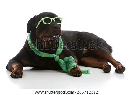 Adorable rottweiler wearing green glasses and scarf.  Isolated on white. - stock photo