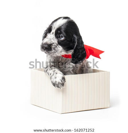 Adorable Russian Spaniel puppy in a gift box with a red ribbon isolated on a white background. - stock photo