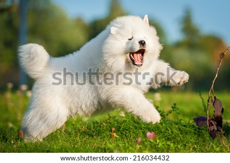 Adorable samoyed puppy jumping