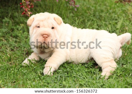 Adorable Shar Pei puppy looking at you in the garden