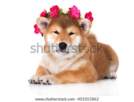 adorable shiba inu puppy in a flower crown - stock photo