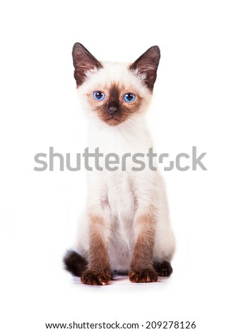 Adorable siamese kitten  - stock photo