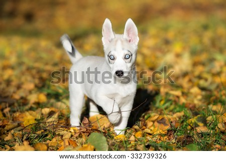 adorable siberian husky puppy with blue eyes - stock photo