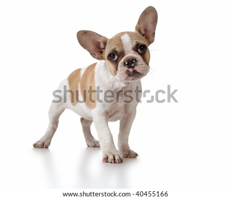 Adorable Sitting Puppy Dog With Cute Expression Studio Shot - stock photo