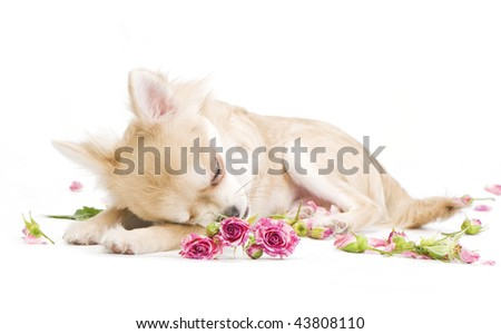 adorable sleeping chihuahua puppy with roses