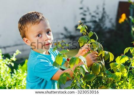 Adorable small boy eats raspberries in a garden - stock photo