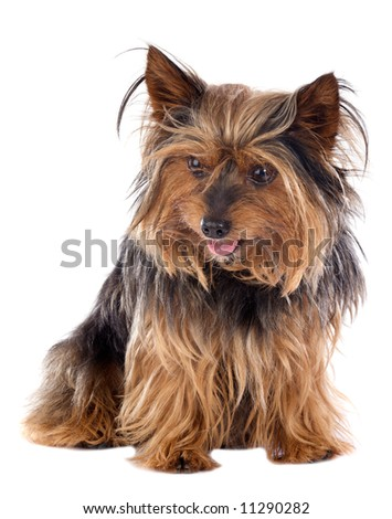 Adorable small dog a over white background