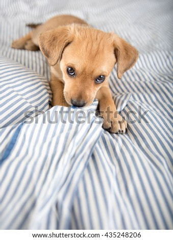Adorable Small Terrier Mix Puppy Sitting on Striped Bed - stock photo