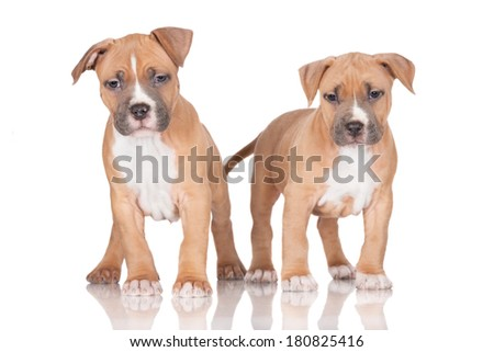 adorable staffordshire terrier puppies