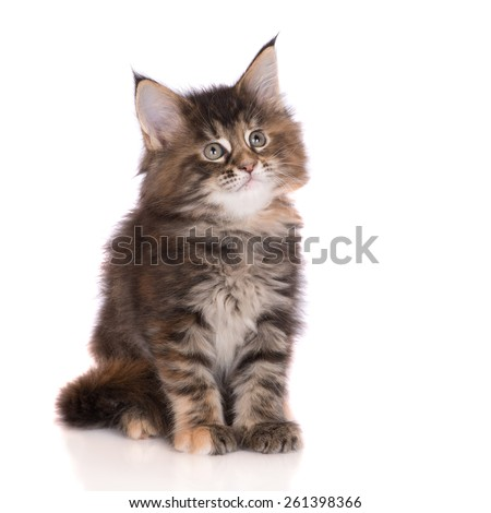 adorable tabby maine coon kitten - stock photo