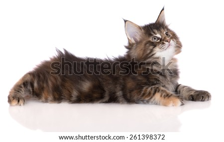 adorable tabby maine coon kitten lying down - stock photo
