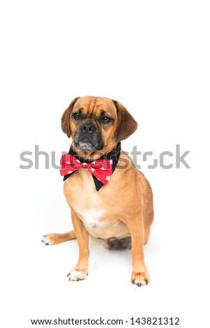 Adorable Three Legged Puggle Dog Wearing Red Bow Tie and Black Shirt Collar on White Background - stock photo