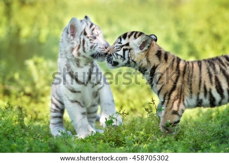 adorable tiger cubs being affectionate with each other - stock photo