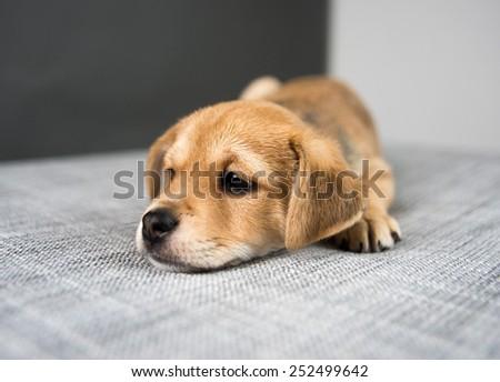 Adorable Tiny Cute Puppy on Gray Sofa  - stock photo