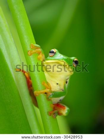 Adorable Tree-frog - stock photo