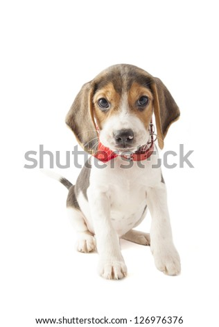 Adorable tricolor puppy beagle isolated over white - stock photo