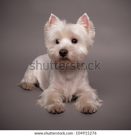 Adorable West Highland Terrier (Westie) on a gray background - stock photo