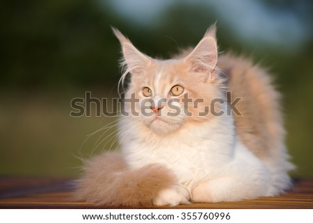 adorable white and fawn maine coon cat outdoors