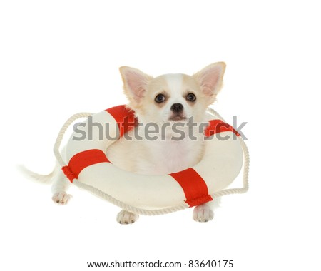 Adorable white chihuahua puppy wearing a red and white life preserver used for boating safety looking up, isolated on white.