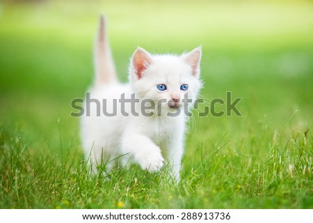 Adorable white kitten with blue eyes walking on the lawn - stock photo