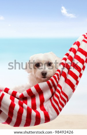 Adorable white maltese terrier relaxing in soft hammock sling by the beach in summer vacation. - stock photo